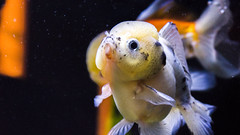 Goldfish (dr_stan3) Tags: goldfish fish aquarium water swimming oceanpark hongkong animals animal animalplanet aquaticlife