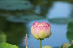 First lotus blooming (JPShen) Tags: pink flower water pond lotus blooming