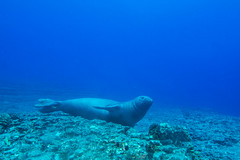 monkseal7Jun22-16 (divindk) Tags: hawaii hawaiianislands kauai lehuacrater neomonachusschauinslandi niihau underwater blueocean cute diverdoug endangeredspecies hawaiianmonkseal lazy marine marinemammal monkseal ocean sea seal underwaterphotography whiskers