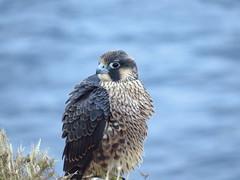juvenile peregrine falcon-point vicente (3) (gskipperii) Tags: ocean bird animal fauna young fluffy raptor falcon southerncalifornia juvenile pv peregrine palosverdes pointvicente rpv wildlifelosangeles