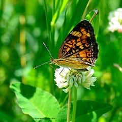 Croissant nordique / Northern Crescent (anjoudiscus) Tags: canada nature butterfly juin montral lepidoptera papillon qubec d800 micronikkor105mm 2016 lpidoptre northerncrescent phyciodescocyta boulgouin croissantnordique roseange