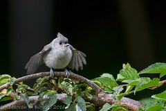 Feed me! (dbifulco) Tags: nature birds newjersey backyard wildlife juvenile fledgling tuti tuftedtitmouse nikkor300f4pfed