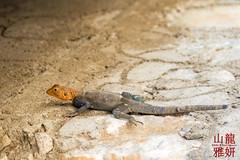 Agama Agama (DragonSpeed) Tags: africa tanzania reptile safari arusha agama agamalizard needid oldupaigorge olduvaigorge ngorongoroconservationarea tzday02 africanwildcatsexpeditions