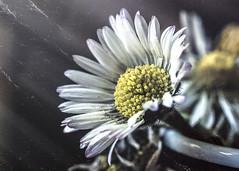 .....shine (Luigi.glpy) Tags: vintage margherita dettagli 7dwf ricordi digital colors nikon park macro white nature light old 5200 art bokeh industar61lz garden flower