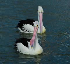 Peli-square_DSC3634 (Mel Gray) Tags: pelicans nature birds