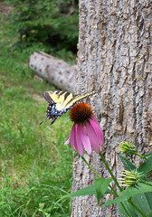 Lunch time in our garden (Flowers Galore) Tags: flowers nature butterfly garden spring echinacea coneflower butterflyattractant beeattractant perennialbloomer