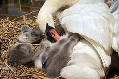 Pen & Cygnets at Abbotsbury Swannery (Annette Rumbelow) Tags: water pen swan feathers swans naturereserve cob cygnets nesting swannery beautifulfeathers abbotsburyswannerydorset annetterumbelowwilson swansfreetofly siteofspecialscientificinterestsssiaspecialprotectedspaandaspecialareaofconservationsac