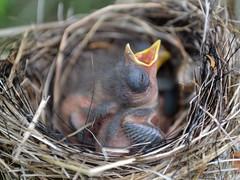 oisillon (pascal_roussy) Tags: oisillon faune wildlife bird oiseau nature animals animaux nikon d3100