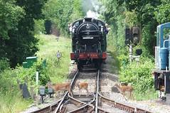 Beware Of The Deer! (crashcalloway) Tags: train wildlife steam deer locomotive railways essex epping n2 1744 eppingongarrailway northwealdstation