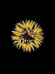 57390.02 Tulipa (horticultural art) Tags: circle mandala wreath stamen tulip tulipa horticulturalart