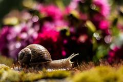 The Discovery of Slowness (marionrosengarten) Tags: rosenhöhe park roseheights snail sun bokeh depthoffield dof nikon 50mm18 nature flowers colourful sparkle moss schnecke sonne moos glitzerbokeh blumen blüten bunt dagmargirasol natur darmstadt
