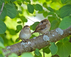 Patience (Slow Turning) Tags: summer two birds branch young chicks perched housesparrow passerdomesticus southernontario juveniles immatures