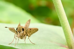 / Isoteinon lamprospilus (March Hare1145) Tags: insect  butterfly
