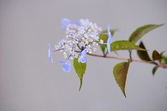 / Hydrangea serrata (nobuflickr) Tags: flower nature japan botanical kyoto   the garden hydrangeaserrata   awesomeblossoms  20160521dsc09885