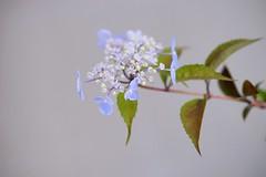 """やまあじさい/ Hydrangea serrata (nobuflickr) Tags: flower nature japan botanical kyoto 日本 花 """"the garden"""" hydrangeaserrata 京都府立植物園 やまあじさい awesomeblossoms アジサイ科アジサイ属 20160521dsc09885"""