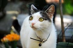 Local cat in Piran / Slovenia (anji) Tags: slovenia slovenija exyu exyugoslavia balkans istria istra adriaticsea adriatic jadran piran pirano