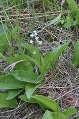 Three-leaf Solomon's-seal (Maianthemum trifolium (L.) Sloboda) 06-08-2016 St. Ignace to Trout Lake, Mackinac Co. MI (Birder20714) Tags: plants michigan asparagaceae maianthemum trifolium mayflowers