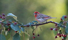 *** Roselin familier  / House finch (ricketdi) Tags: bird cantley roselin roselinfamilier finch housefinch haemorhousmexicanus explore06juillet2016no3 coth coth5 ngc sunrays5 npc wow