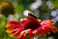 Bee at work (Christian He) Tags: canon bokeh outdoor sommer natur pflanze wiese l 100 28 blume makro blte insekt garten tier farben biene frhling schrfentiefe honig honigbiene 80d 10028l