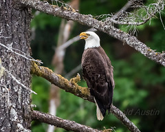 Bald Eagle (ausmc_1) Tags: canada bird adult outdoor britishcolumbia wildlife july vancouverisland raptor birdofprey portalberni d800 americanbaldeagle tonge seaeagle 2016 baldeaglehaliaeetusleucocephalus nikkor2oo500