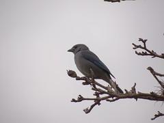 DSC05019 Sanhao-Azul (familiapratta) Tags: bird nature birds brasil iso100 sony natureza pssaro aves pssaros novaodessa novaodessasp hx100v dschx100v