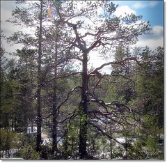 A pine in the spring-sun. (HJsfoto) Tags: nature pine forest tall potofgold