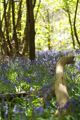 Bluebell Wood 9631 (Thorbard) Tags: morning flowers trees wild sun sunlight blur tree green sunshine bluebells forest woodland carpet gold golden morninglight spring woods branch bokeh wide depthoffield fallen distance nationaltrust untouched depth distant goldenlight kingstonlacy blueflowers fallenbranch canonef85mmf18usm spring2013 bestof2013