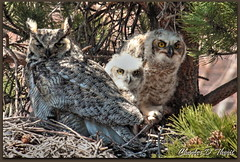 Mom (or Dad?) carefully guards the owlets (ctofcsco) Tags: 1div 2x 400mm blvd canon centennial colorado coloradosprings drive explore extender flyingwranch great horned mountain owl owlet rd road shadows unitedstates usa vindicator walgreens hdr singleimagehdr springs united states co 1d mark iv ef400mm f28l ii usm ef400mmf28liiusm america northamerica telephoto bokeh ef2x extenderef2xii eos1d eos1dmarkiv eos 4 mark4 800mm supertelephoto teleconverter ef2xii best wonderful perfect fabulous photo pic picture image photograph esplora explored