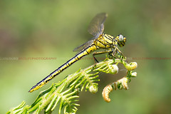 Western Clubtail (Lus Louro) Tags: portugal nature animals ilovenature wings nikon dragonflies wildlife insects bugs planet louro predators odonata anisoptera liblulas wildlifephotography