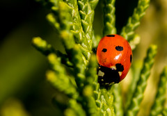 Ladybug (Nils Croes) Tags: red macro nature bug insect spots ladybug tamron 55200 60d