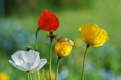 Dreaming of Summer... (picaddict) Tags: germany garden spring bokeh poppy garten frühling lumen mohn papaveraceae islandmohn papavernudicaule afsvrmicronikkor105mmf28gifed büten pluwig
