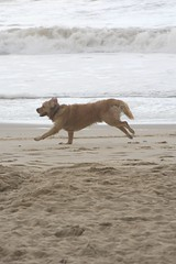 Goldie (chrigischuler) Tags: ocean greatbritain sea england dog beach dogs water goldenretriever golden sand unitedkingdom outdoor retriever familydog hunter activity breed goldie bournemouth gundog waterdog boscombe animalphotography dogfun huntingdog dogography southengland
