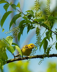 3. A Prairie Warbler, a caterpillar, and a chokecherry tree (A. Drauglis) Tags: tree bird eating birding caterpillar va frontroyal chokecherry prairiewarbler scbi smithsonianconservationbiologyinstitute setophagadiscolor