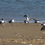 Laughing Gulls mating thumbnail