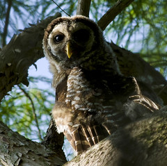 Barred Owl (Newzer1) Tags: owl barred barredowl