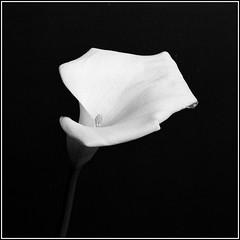 White Cala. Minolta X-700, Minolta 1.7/50mm. (Andrey Maltsev) Tags: flowers bw flower film nature beautiful fleurs 50mm flora minolta minoltax700 blumen scan scanned apx100 fiori agfa dimage cala x700 bwfilm greatshots minoltadimagescandualiv mixedflowers agfaphoto floweronblack whitecala flowersarebeautiful floraandfaunaoftheworld excellentsflowers exquisiteflowers minolta1750mm