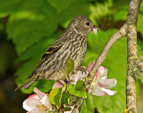 Siskin on apple blossom