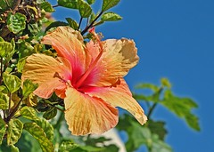 an orange hibiscus in the spanish sun (GVG Imaging) Tags: spain costablanca caboroig d90 orangehibiscus mygearandme mygearandmepremium mygearandmebronze mygearandmesilver nikkor24120mmf4