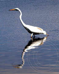 Egret in Caven Point Cove, Liberty State Park, Jersey City, New Jersey (jag9889) Tags: bird newjersey jerseycity waterfront snowy wildlife nj land hudsonriver brook marsh fowl egret wetland libertystatepark lsp hudsoncounty tributary cavenpoint