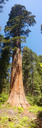 Calaveras Big Tree