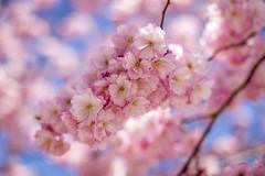 Cherry blooming (Joakim Berndes) Tags: pink flower tree canon cherry stockholm rosa cc creativecommons sverige sthlm cherrytree springtime maj blooming kungsträdgården kungsan 2013 stockholmslän canon6d jberndes joakimberndes