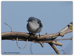 DSC01413 Blue-Gray Gnatcatcher (Polioptila caerulea) (Cliff's Photography, Why change ????) Tags: blue camping winter wild white lake ontario canada black reflection nature beautiful club port wow flying adult gray flight feathers conservation erie waterfowl clifton avian dickinson gnatcatcher naturalist burwell