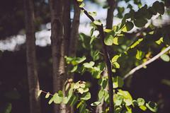 summer/already? (Nazra Zahri) Tags: trees light shadow summer green leaves japan nikon raw 85mm nikkor okayama 85mmf18d 2013 d700 vscofilm