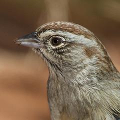 Rufus-crowned Sparrow (Eric Gofreed) Tags: arizona sedona mybackyard villageofoakcreek rufuscrownedsparrow sparrrow yavapaicounty