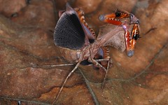 Malaysian Dead Leaf Mantis (Deroplatys lobata) threat display (berniedup) Tags: taxonomy:binomial=deroplatyslobata