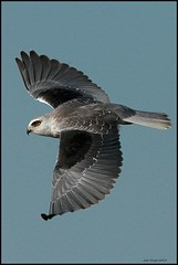 Peneireiro-cinzento,Black-shouldered Kite (Elanus caeruleus) (Jos Diogo 58) Tags: