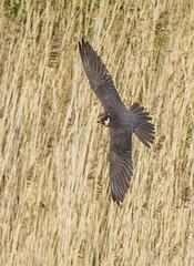 PL1D7386 Hobby (Falco subbuteo), Brandon Marsh, Warwickshire 13 May 2013 (Lathers) Tags: warwickshire brandonmarsh canoneos1dmarkiv canonef500f4lisusm wkwt 13may2013
