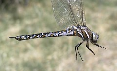 California Darner [ Rhionaeschna californica ] teneral female (gyr) Tags: insect dragonfly darner californica odonata anisoptera aeshnidae californiadarner rhionaeschna rhionaeschnacalifornica