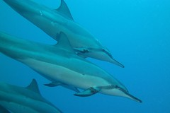 sweet cetacea (BarryFackler) Tags: ocean life sea nature water ecology leaves animal coral fauna island hawaii polynesia bay leaf pod marine underwater being dive scuba diving sealife pacificocean dolphins tropical marinebiology bigisland aquatic reef creature biology mammals undersea kona naia ecosystem coralreef marinelife vertebrate zoology seacreature spinnerdolphins marinemammals marineecology organism cetaceans honaunau konacoast odontoceti hawaiicounty southkona hawaiiisland 2013 honaunaubay stenellalongirostris marineecosystem westhawaii hawaiianspinnerdolphins konadiving bigislanddiving hawaiidiving slongirostris sealifecamera barryfackler barronfackler