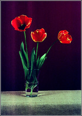 Tulip. Minolta X-700. Kodak FW 200. (Andrey Maltsev) Tags: flowers flower film nature beautiful fleurs 50mm flora tulips minolta kodak minoltax700 blumen scan 200 tulip scanned fiori dimage x700 redtulip greatshots minoltadimagescandualiv whitetulip mixedflowers farbwelt kodakfarbwelt200 flowersarebeautiful floraandfaunaoftheworld excellentsflowers exquisiteflowers minolta1750mm